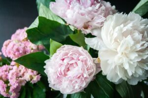 How to grow peonies from cuttings